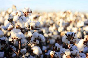 pakistan-cotton