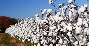 alabama-cotton-fields-02