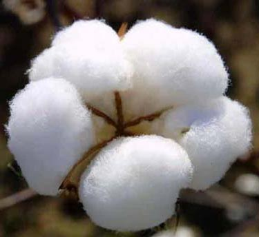 cotton-pakistan