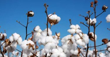 us-cotton