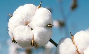 indian-cotton