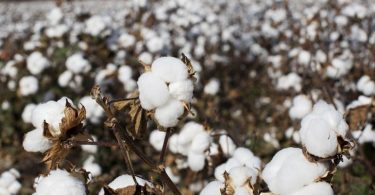 Cotton waiting to be picked sits in a field in Florence