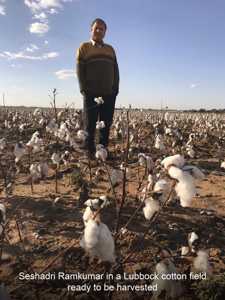ram-in-cotton-field-2-caption