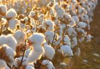 organic-cotton