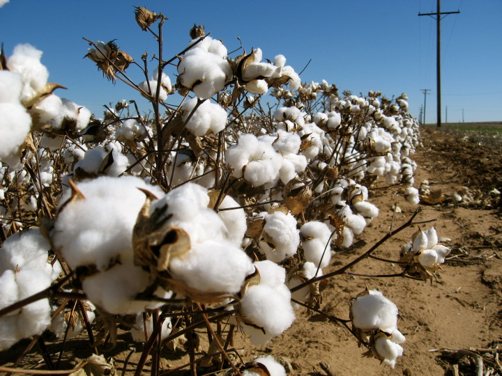 cotton-field-720x540